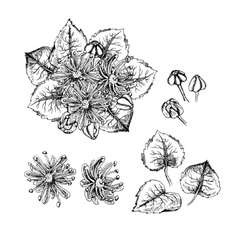 Hand drawn linden flowers and leaves vector image