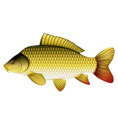 Common carp vector image