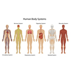 Human body systems vector