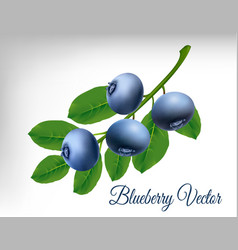 blueberry vector image vector image