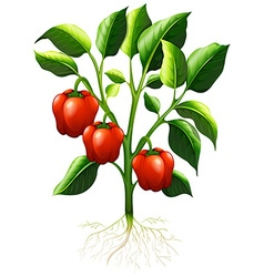 Red capsicum on the branch vector