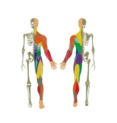 Human bony and muscular system Front and rear vector image vector image