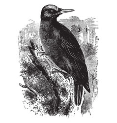 Great black woodpecker vintage vector
