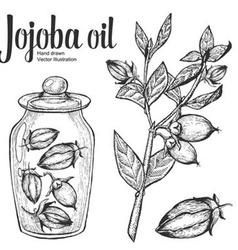 Jojoba Oil Jar vector image