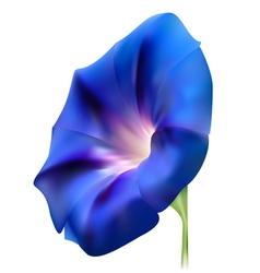 Blue realistic bindweed flower vector image
