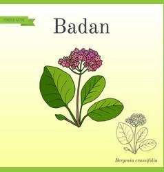 Medicinal and garden plant bergenia badan vector
