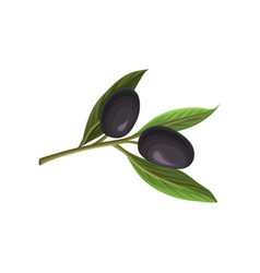 ripe black olives with leaves vector image