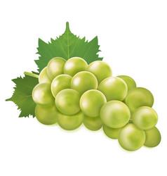 Green grapes bunch vector