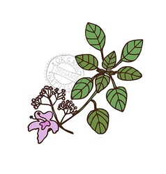 Hand drawn oregano vector