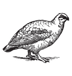 Rock ptarmigan winter plumage vintage vector