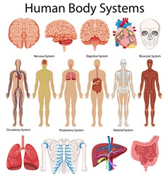 Diagram showing human body systems vector