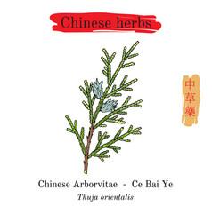 Medicinal herbs of china chinese arborvitae thuja vector