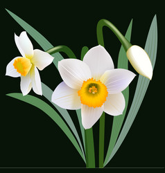 Narcissus flowers with leaves and bud vector