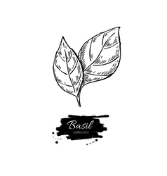 Basil drawing Isolated Basil leaves vector image