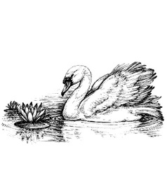 Swan on lake lotus flowers sketch vector image