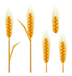 Ears of wheat barley or rye agricultural image vector