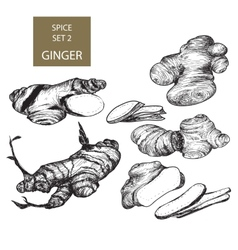 Ginger vector image vector image