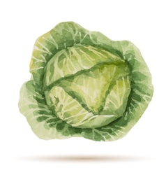 Watercolor handmade cabbage vector image vector image