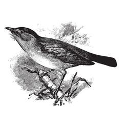 European pied flycatcher vintage vector
