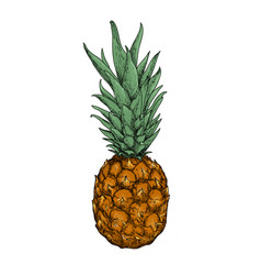 fresh pineapple on the white background vector image