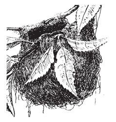Baltimore oriole nest vintage vector