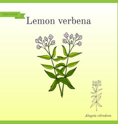 Lemon verbena or lemon beebrush aloysia citrodora vector
