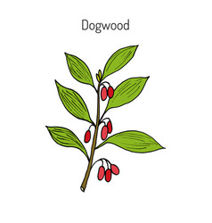 branch of dogwood plant vector image vector image
