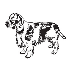 decorative standing portrait of english springer vector image vector image
