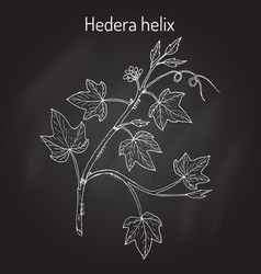 english ivy hedera helix ornamental and vector image