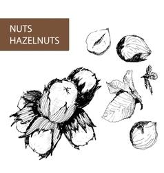 Nuts hazelnuts vector