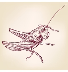 Locust or grasshopper -insect hand drawn vector
