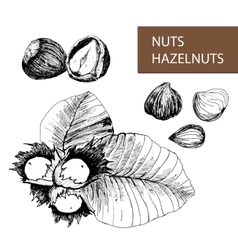 Nuts hazelnuts vector