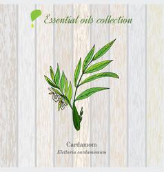 Green cardamon essential oil label aromatic vector