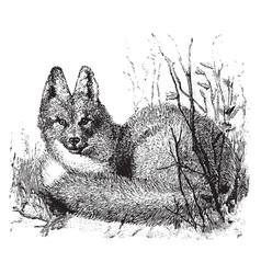 Eastern american red fox vintage vector