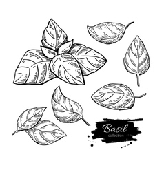 Basil drawing set Isolated plant with vector image vector image