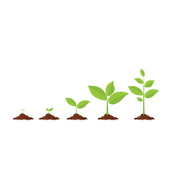 phases plant growing vector image