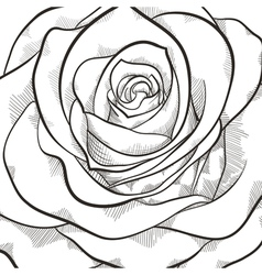 Background with beautiful black and white rose vector