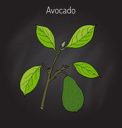 Avocado or alligator pear vector