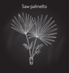 Saw palmetto serenoa repens medicinal tree vector