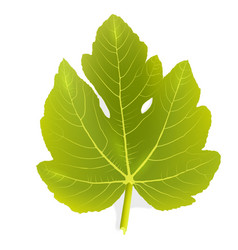 Fig leaf vector image vector image