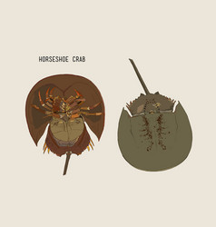 horseshoe-crab hand draw sketch vector image