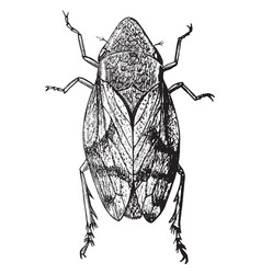 Dorsal view of froghopper vintage vector