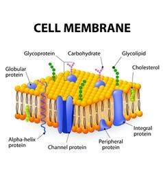 Cell membrane vector