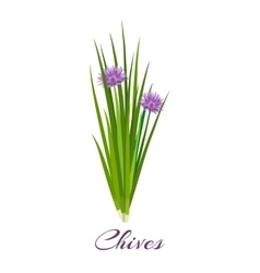 Blossoming chives color vector image