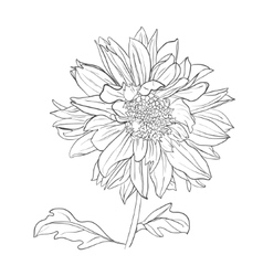 Hand drawn realistic dahlia flower vector
