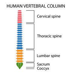 vertebral column spine structure vector image vector image