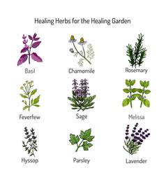 Healing herbs set vector