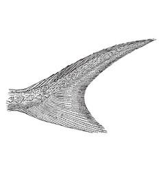 Shortnose sturgeon tail vintage vector