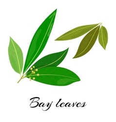 Raw and dried bay leaves Colored vector image