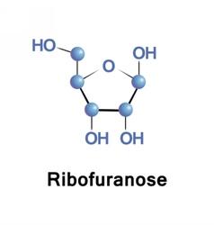Ribose part of rna vector